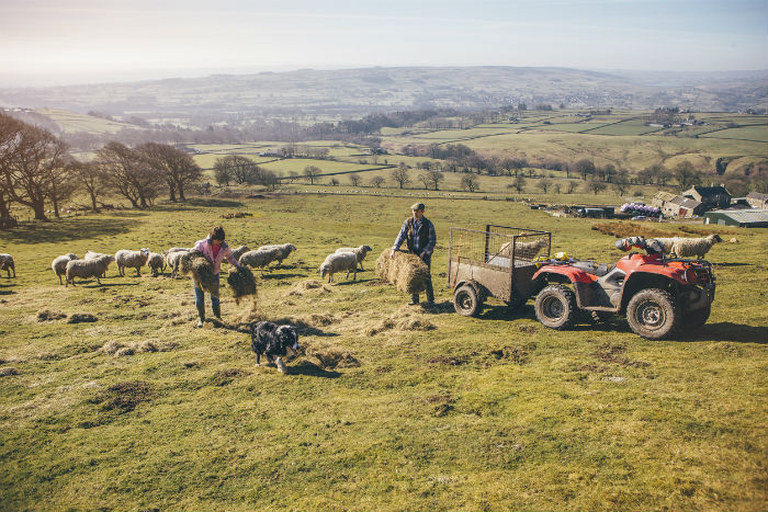 farmers-sheep