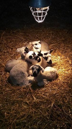 lambs-under-heat-lamp